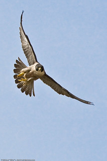 1 of 9 Peregrine Falcon Adult, Morro Bay, CA 27 May 2008 | by mikebaird