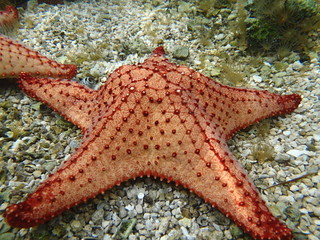 Bahama Starfish | by keywest aquarium