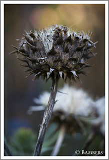 Cardoon seed head... | by BambersImages