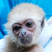 White handed gibbon monkey