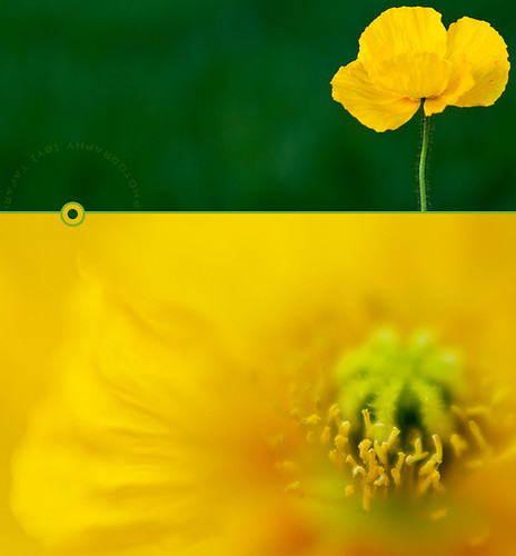 Poppies Are Perfect | by Tafari