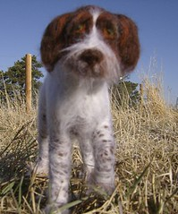 Wooliture German Wirehaired Pointer front | by RoseThistleArtworks