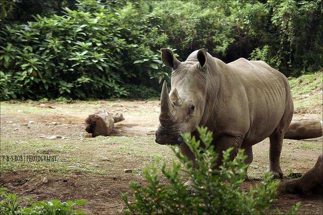 like a replete rhinocheros flickr photo sharing