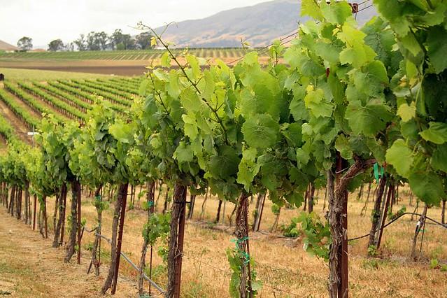 Grape Vines Wolff Vineyard Orcutt Rd Slo Ca Wolff