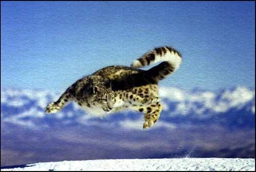 Snow Leopard Jumping | by Snow Leopard Trust