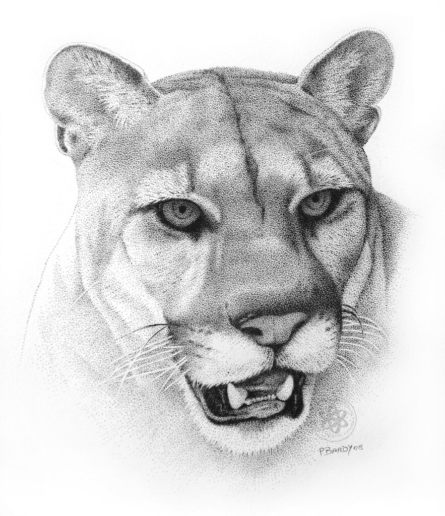 Cougar Face Line Drawing : Cougar pointillism pen and ink paul brady flickr
