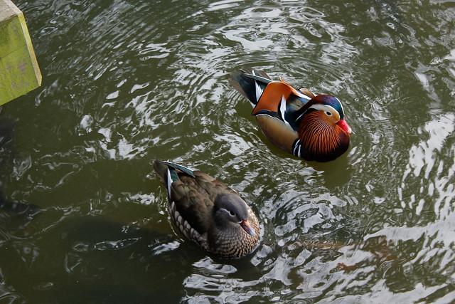 Wisley ducks