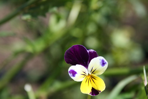 Pansy | by Bird and Little Bird.