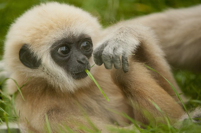 Baby Lar Gibbon | Flickr - Photo Sharing!