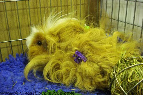 Long haired guinea pig - photo#51