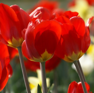tulip red head | by lisabirtch