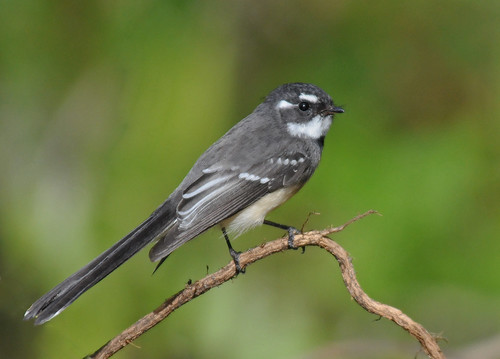 Grey Fantail | by maureen_g