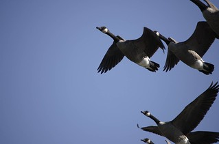 Geese Takeoff | by Zach Dunn