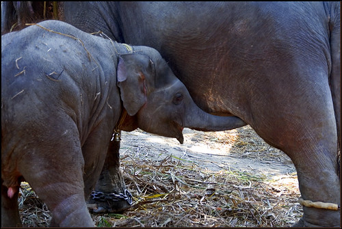 Sonepur mela - Hungry baby elephant | by Elishams