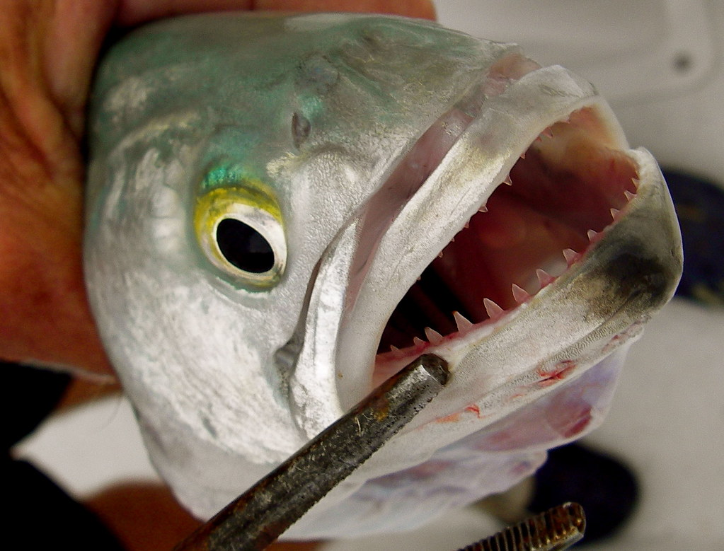 Bluefish teeth keep away one fish two fish for Blue bass fish