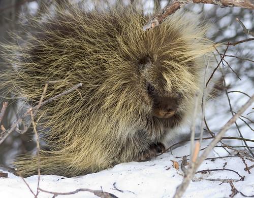 Porcupines (Order Rodentia, Family Erethizonidae)