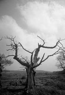 Dead tree on Mogshade Hill | by Skink74