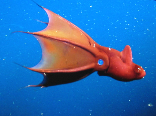 vampire_squid | by Xtina Wallace