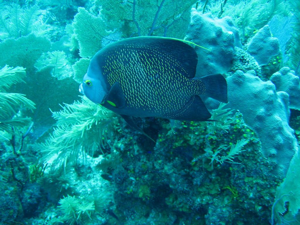 Neon blue fish in reef, Belize | Photo by Lauretta Burke ...