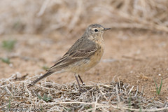 American Pipit | by Christopher L Wood