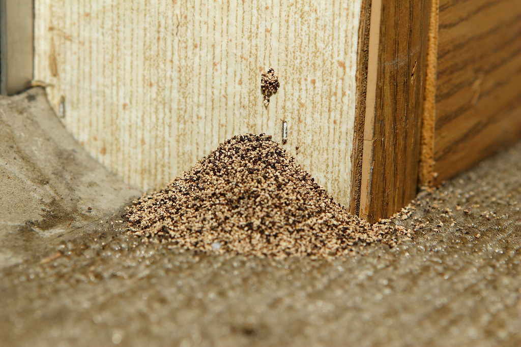 Drywood Termite Fecal Pellets Pellets Kicking Out Of The