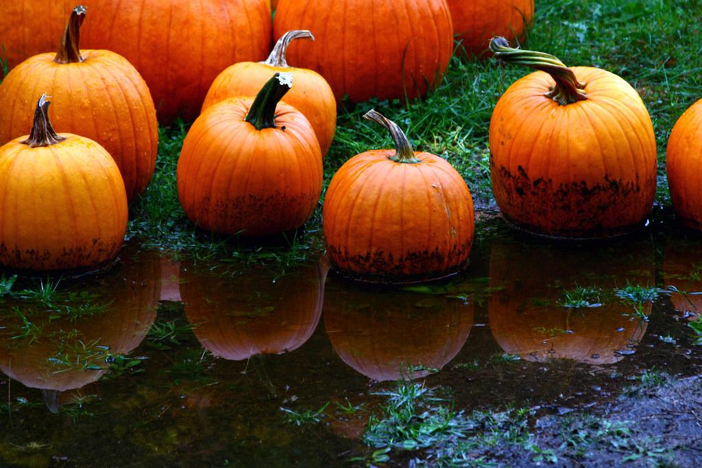 pumpkins in the rain |...