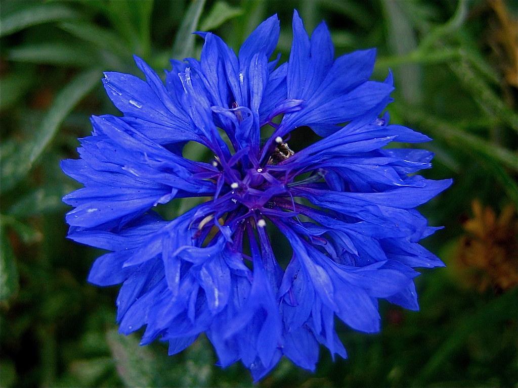 Blue Corn Flower Best Seen Big Centaurea Cyanus