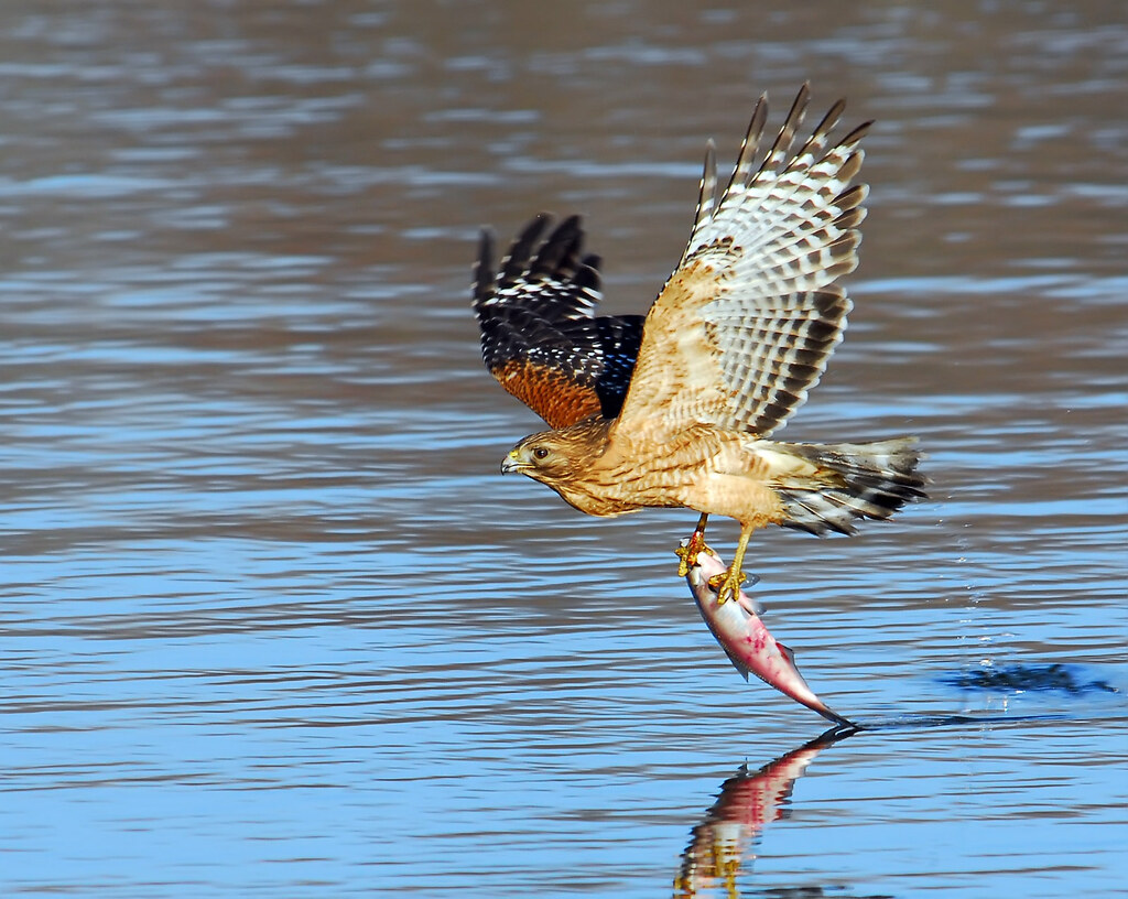 Image gallery hawk catching fish for Fish hawk bird