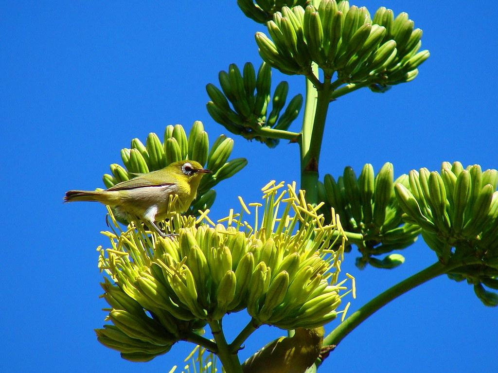 Petit Oiseau Sur Fleur D Agave Maxence98 Flickr