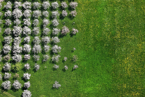 Flowering fruit trees | by Aerial Photography