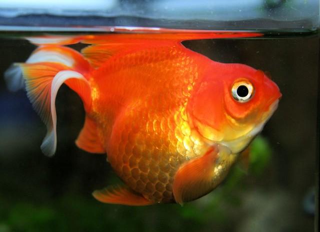 Fat fish oranda leila my oranda goldfish c for Cholesterol in fish