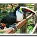 Tucán pechiblanco / White-throated toucan