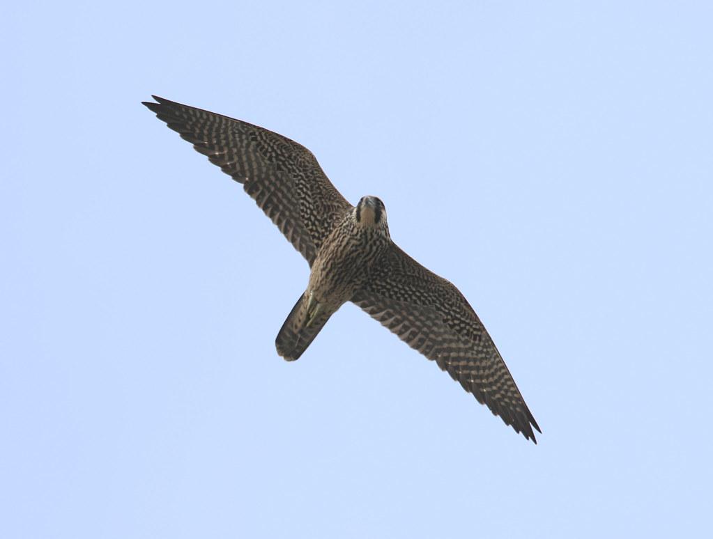 Immature Peregrine Falcon | Immature Peregrine Falcon ...