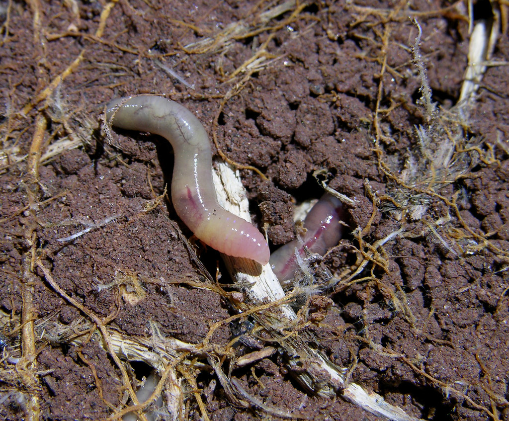 earthworms - photo #26