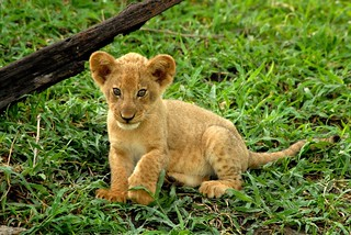 Lion Cub | by Andrew Molinaro