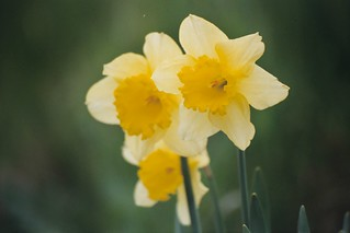 Welsh Daffs | by Andy Pearce