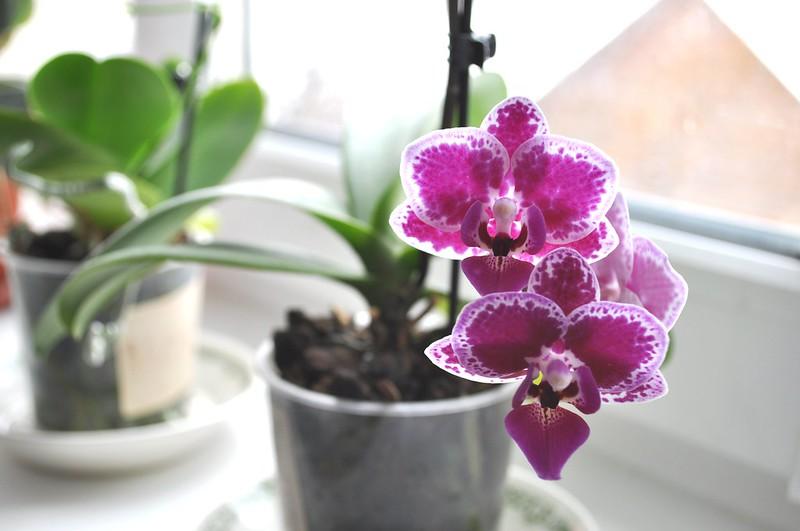 Orhids mini