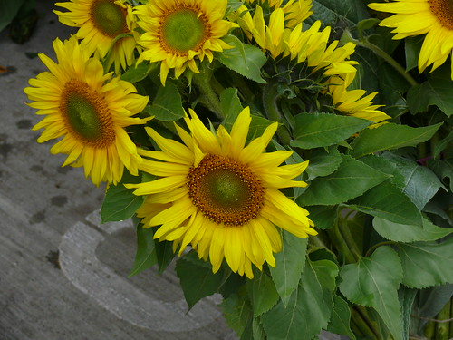 102707sunflower | by swampkitty
