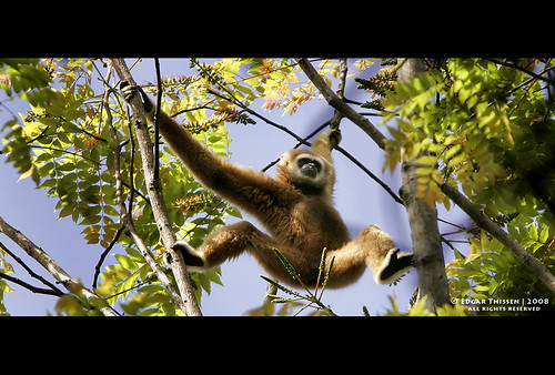 The first Gibbon! | by Edgar Thissen