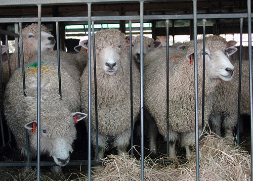 Romney ewes at the feeder | by baalands