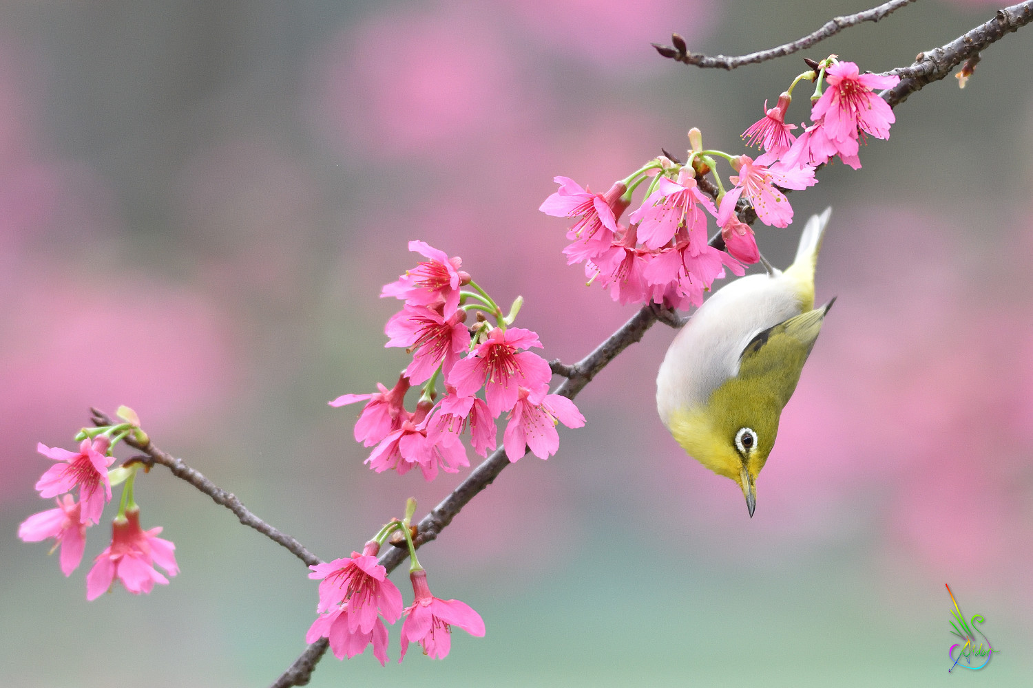 Sakura_White-eye_5565