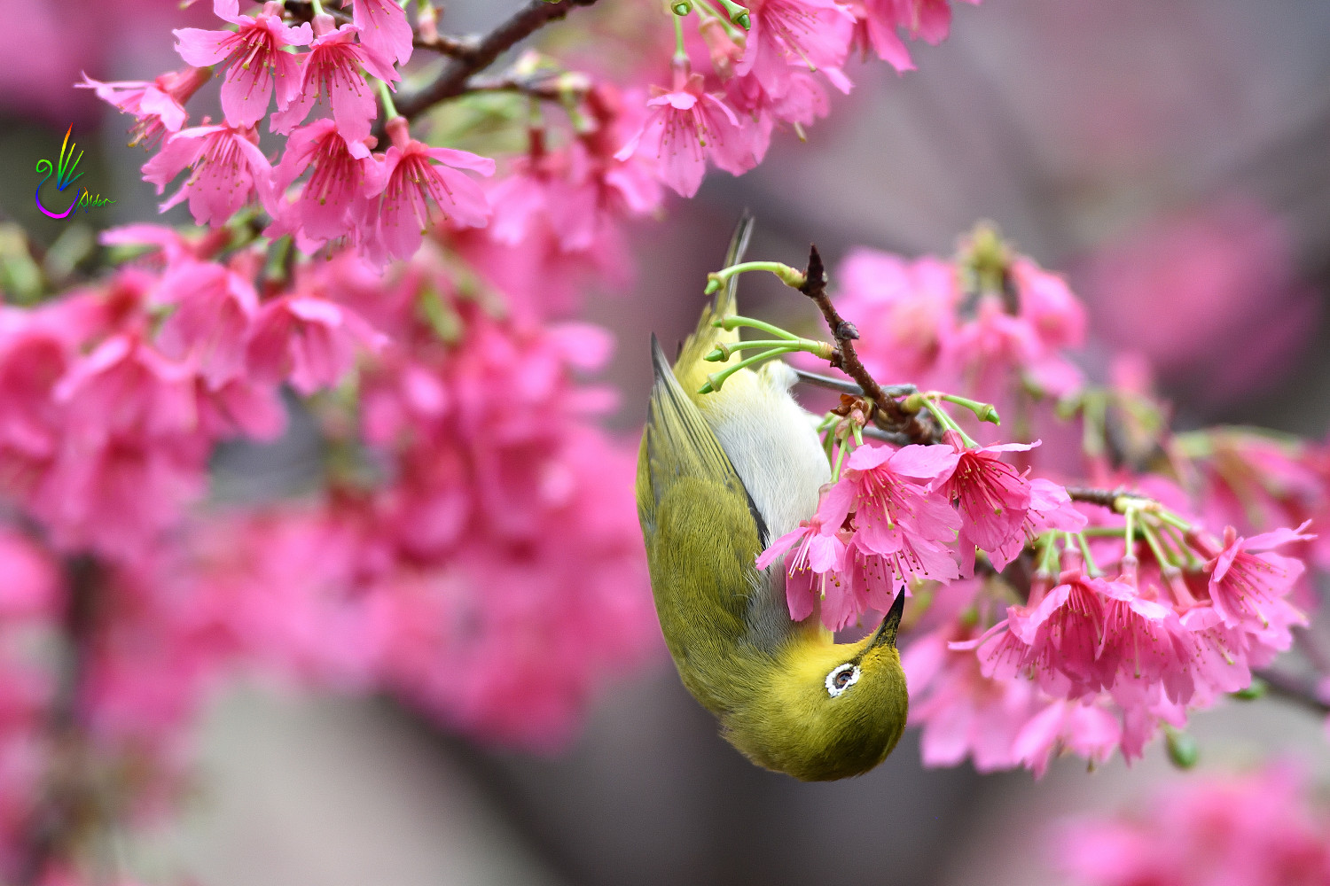 Sakura_White-eye_6182