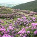 Rhododendrons in The Vee