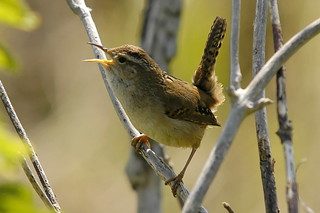 Marsh Wren | by brendan.lally....away
