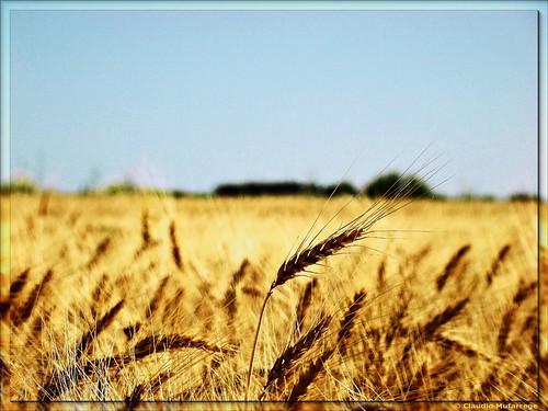 trigales    wheat fields