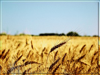 Trigales / Wheat fields | by Claudio.Ar
