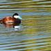Ruddy Duck on Arastradero Lake