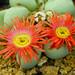 Argyroderma congregatum flowers