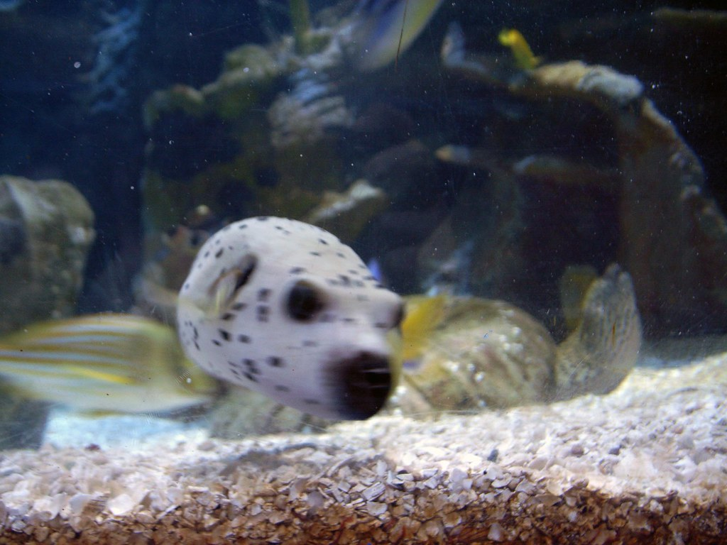 Woof dogface puffer fish this is just one of 4 for Dog face puffer fish