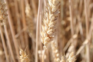 Hven, Triticum | by I LIKE IT SIMPLE